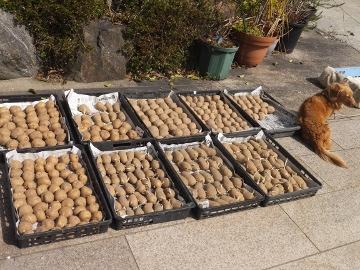 春ジャガ種芋干し