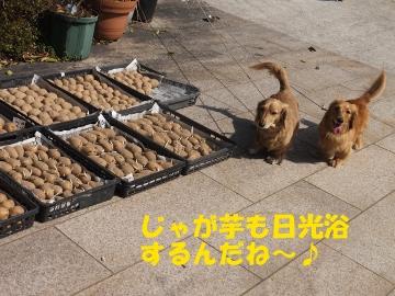 春ジャガ種芋干し3