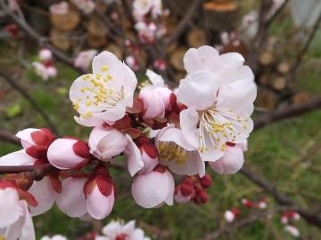 梅の花とあんずの花2