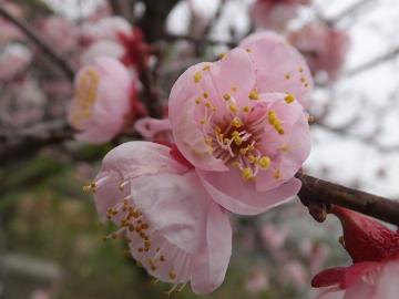 梅の花とあんずの花3