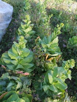 伸びて菜の花3