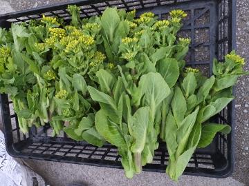 伸びて菜の花2