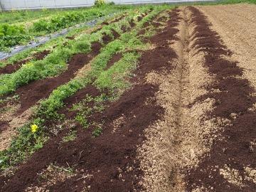 堆肥を芋畑に3