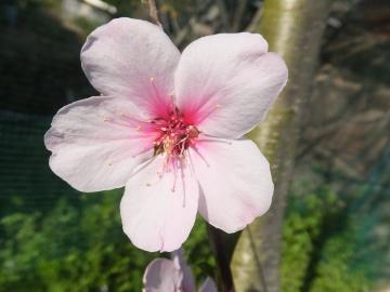 アーモンドの花可愛い