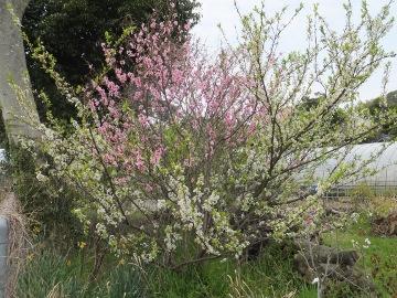 2色の花の木2