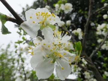 プルーンの白い花