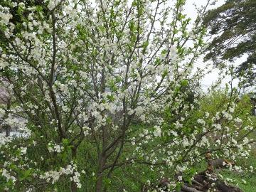 プルーンの白い花2