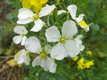 カモミールの花4