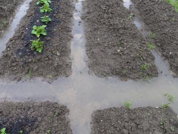 大雨に浸かった畑