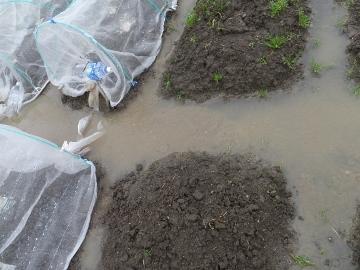 大雨に浸かった畑2