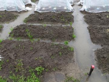 大雨に浸かった畑3