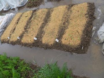 大雨に浸かった畑5