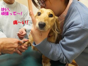 ハウス掘りと予防接種14