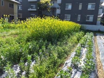 菜の花草刈り2