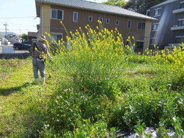 菜の花草刈り3