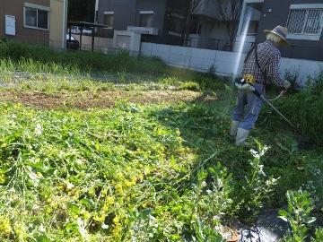 菜の花草刈り4