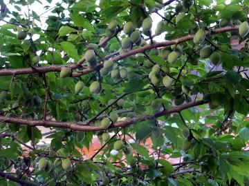 梅の実いっぱいの若い枝