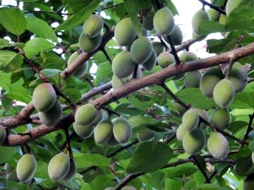 梅の実いっぱいの若い枝2