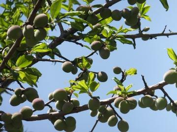 梅の実いっぱいの若い枝3
