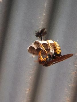 ハチの巣作り2