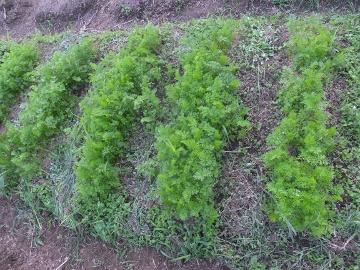 トマト芽かき時期3