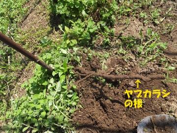 ヤブカラシとミントの根掘り8