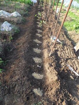 ヤブカラシとミントの根掘り12