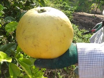 晩白柚など収穫2
