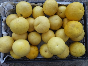 晩白柚など収穫3