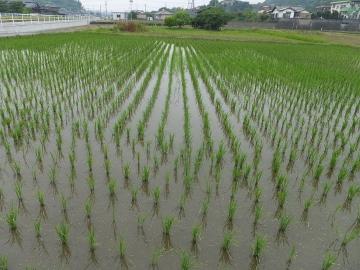 有機米緑っぽく