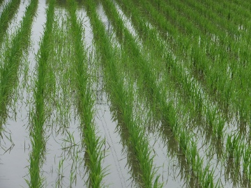 有機米緑っぽく2
