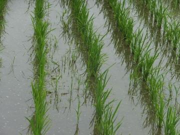 有機米緑っぽく3