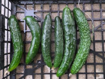 有機米緑っぽく8