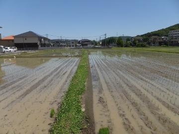れんげ米田植え27年度9