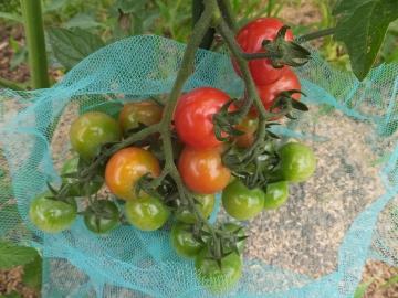 ミニトマト収穫始まる