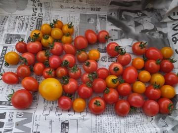 ミニトマト収穫始まる2