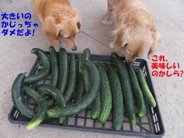 キュウリのお腹に葉3