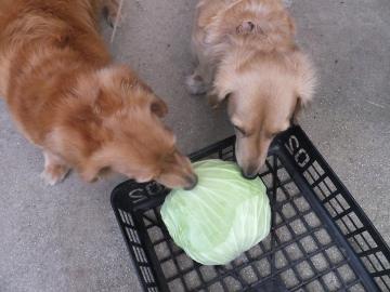 朝市用野菜とキャベツ6