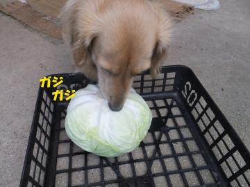 朝市用野菜とキャベツ7