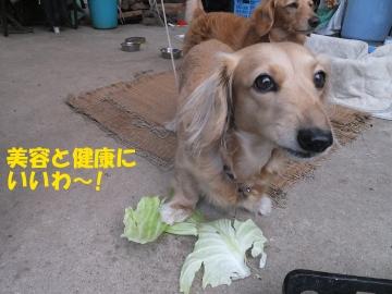 朝市用野菜とキャベツ10