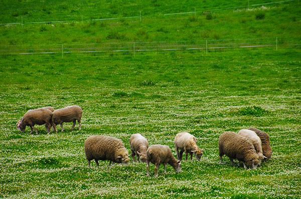 小岩井農場の羊たち