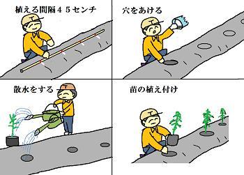 ピーマン苗の植え付け要領