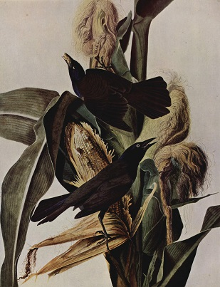 blackbird John James Audubon1827-38