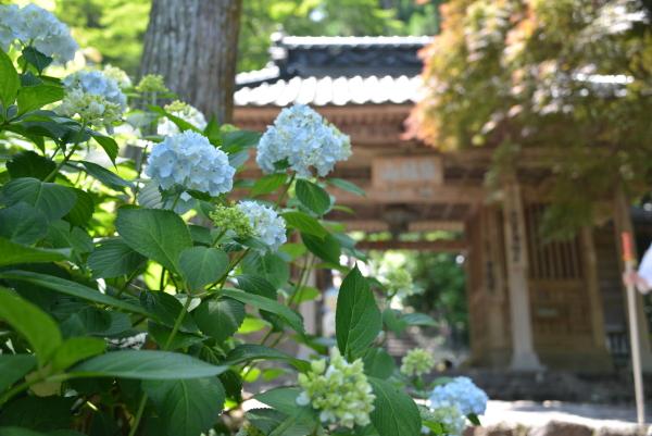 門前の紫陽花②