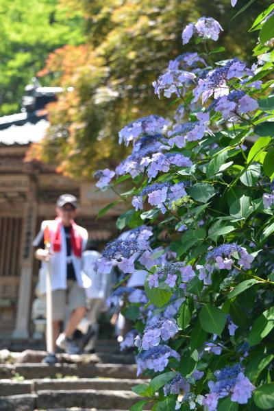 門前の紫陽花①