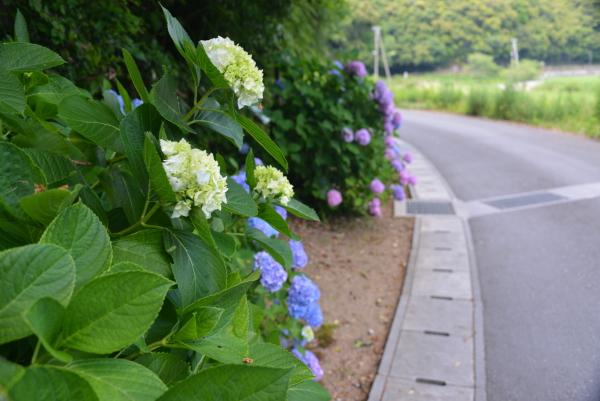 遍路道の紫陽花