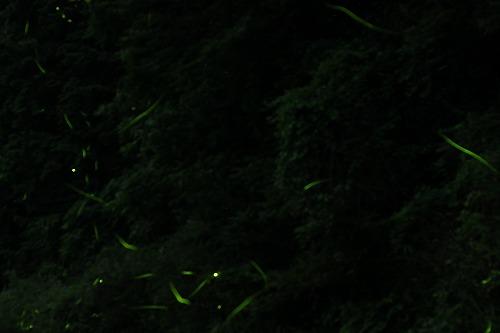 2015鳥川ホタル  (4)