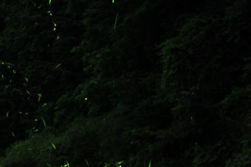 2015鳥川ホタル  (5)