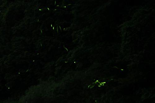 2015鳥川ホタル  (6)
