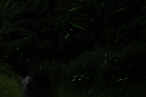 2015鳥川ホタル  (8)